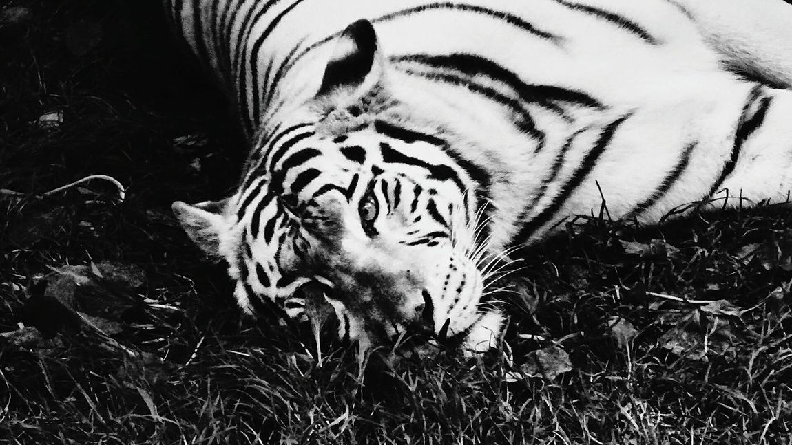 Tiger Animals In The Wild One Animal Animal Themes Animal Wildlife Grass White Tiger Animal Markings Outdoors Day Close-up Nature Mammal Blackandwhite Blackandwhite Photography Black & White Animal Animals In The Wild Animal Photography Amateurphotography Amteurphotographer Wildanimal Wildlife Wildlife & Nature Wild