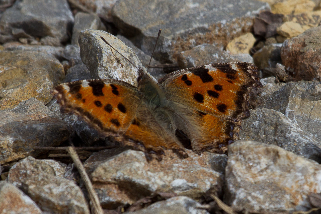 Butterfly - Insect Hesperiidae