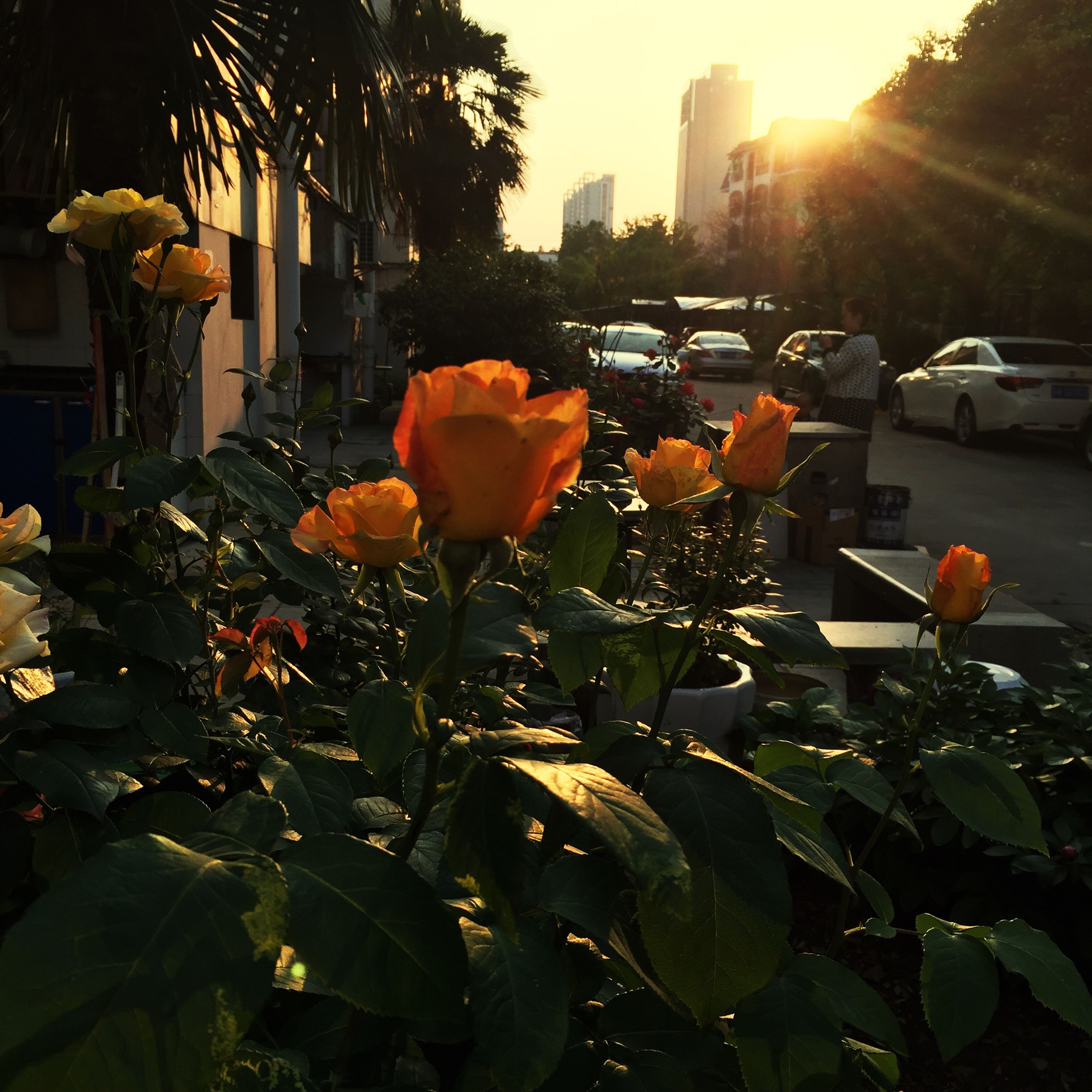 building exterior, architecture, sunlight, built structure, city, leaf, sunbeam, growth, flower, sun, car, plant, street, front or back yard, outdoors, transportation, lens flare, sunset, sunny, nature