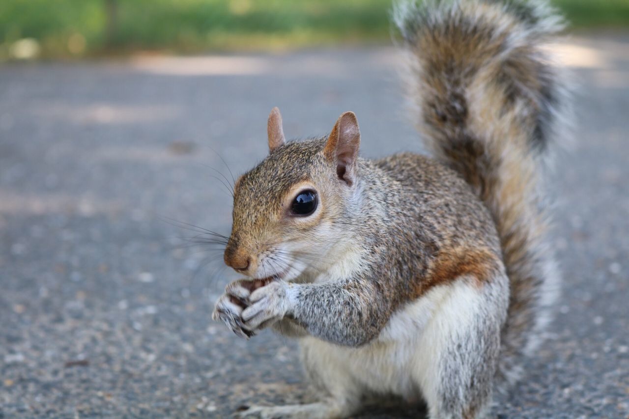 one animal, squirrel, rodent, animal themes, animals in the wild, mammal, animal wildlife, focus on foreground, day, outdoors, close-up, no people, nature, eating