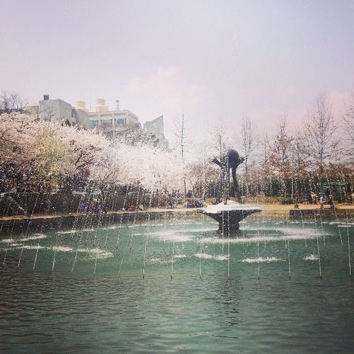 Beautiful Spring Scenery at Univ. After the lunch, with my lovely friend Spring Sakura Kyunpook univ. Scenery