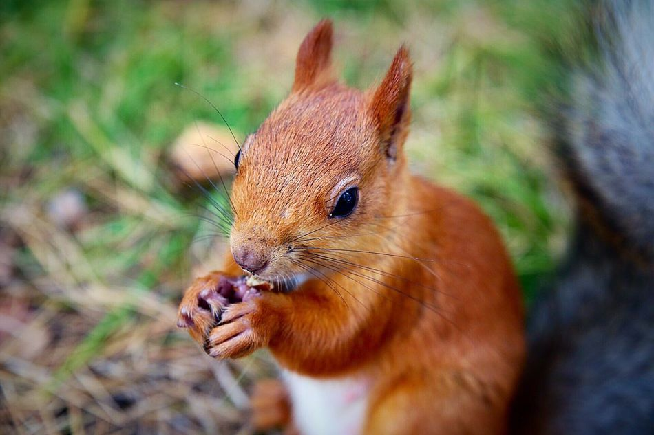 Beautiful stock photos of squirrel, Animal Head, Animal Themes, Animals In The Wild, Berdsk