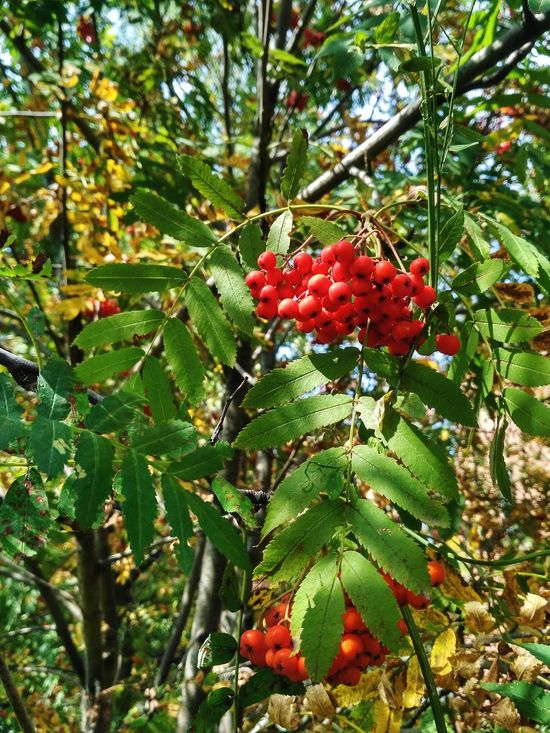 Growth Tree Fruit Red Green Color Beauty In Nature Nature Freshness Outdoors Healthy Eating Rowanberry Plant Leaf Food Branch Rowanberry Rowan Rowan Tree Rowan Berries Bunch Tree Brunch Autumn Harvest Orange Berries Berries рябина Perspectives On Nature