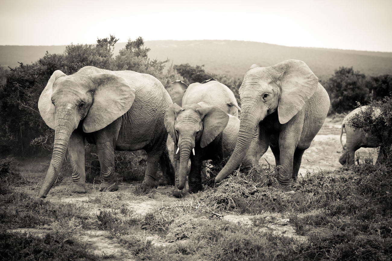 Elephant family portrait African Elephant Animal Family Animal Themes Animal Trunk Animal Wildlife Animals In The Wild Beauty In Nature Day Elephant Elephant Calf Field Grass Landscape Mammal Nature No People Outdoors Safari Animals Sky South Africa Togetherness Tree Tusk Walking Young Animal