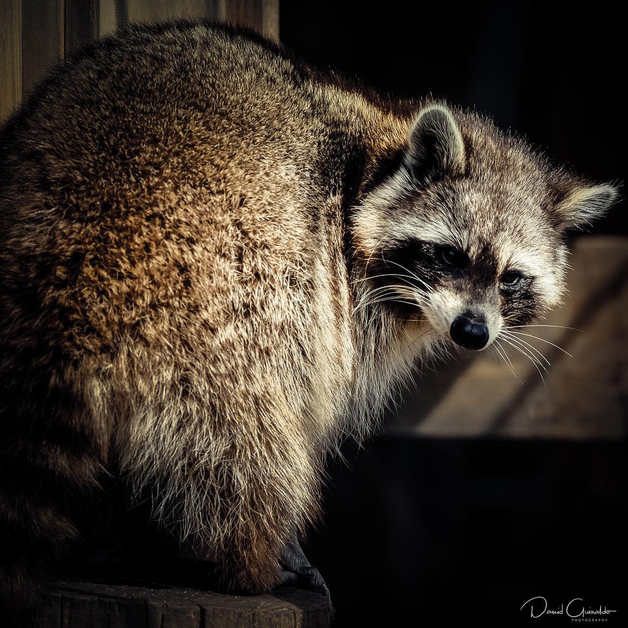 Animal Themes Close-up Mammal No People One Animal Raccoon Zoo