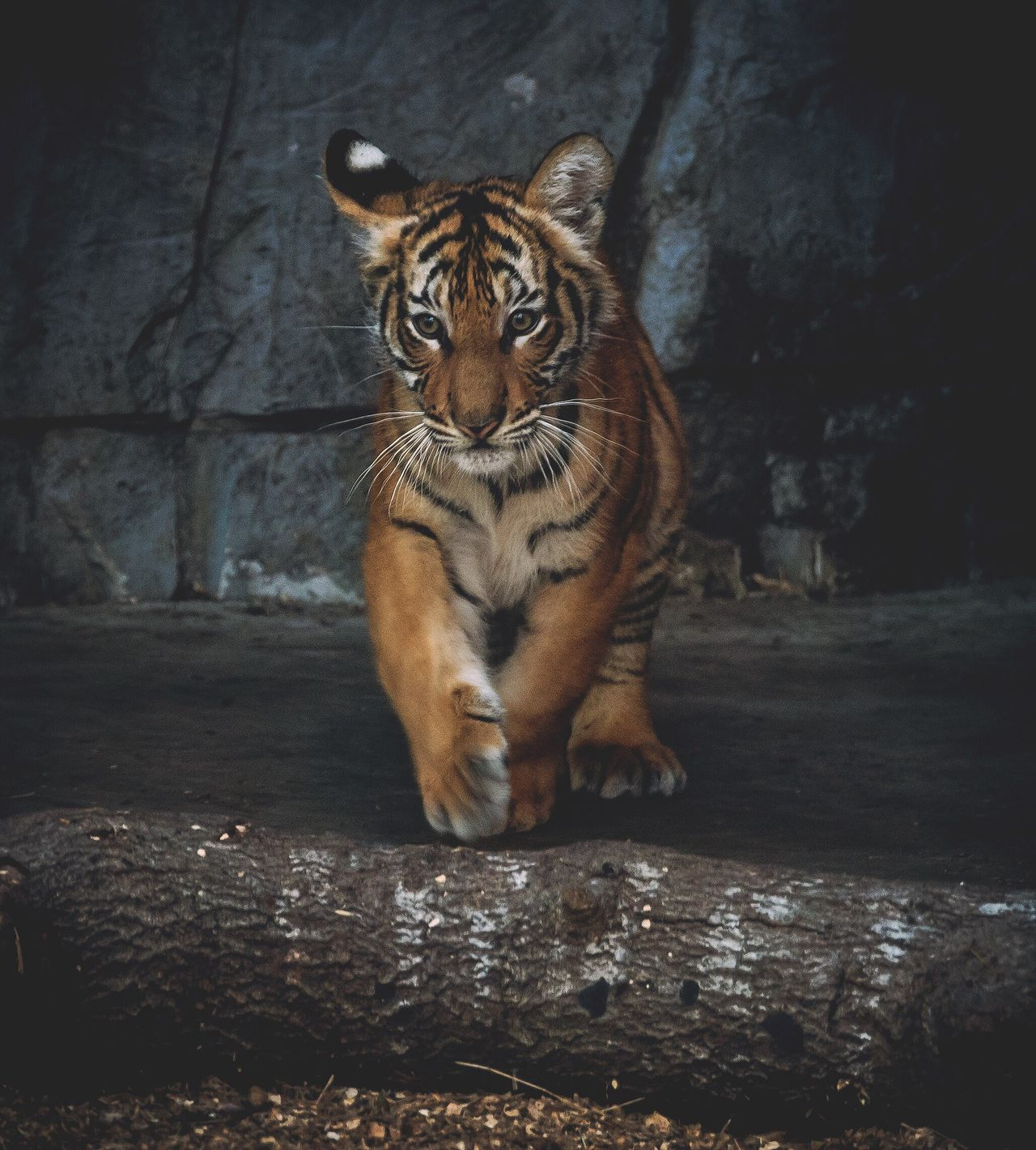 Animal Themes One Animal Mammal Animals In The Wild Feline No People Tiger Carnivora Day Outdoors Portrait Portraits Portrait Photography