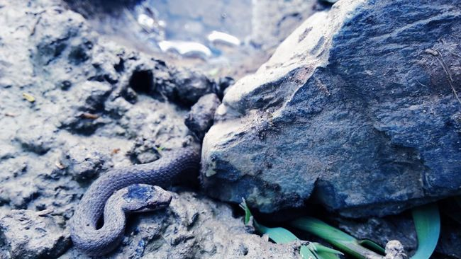 Snake ♥ Nature Rock Animal Head  No People Beauty In Nature Outdoors Water Animal Animals In The Wild Animal Photography Try Everything Believe Never Give Up ✌ Sick And Cute  Scary Scary Stuff  Scary Dude Snakes Are Beautiful Snake Head Snakes♥ Snake!!  Snakes Of Eyeem Snake Trying To Be Creative
