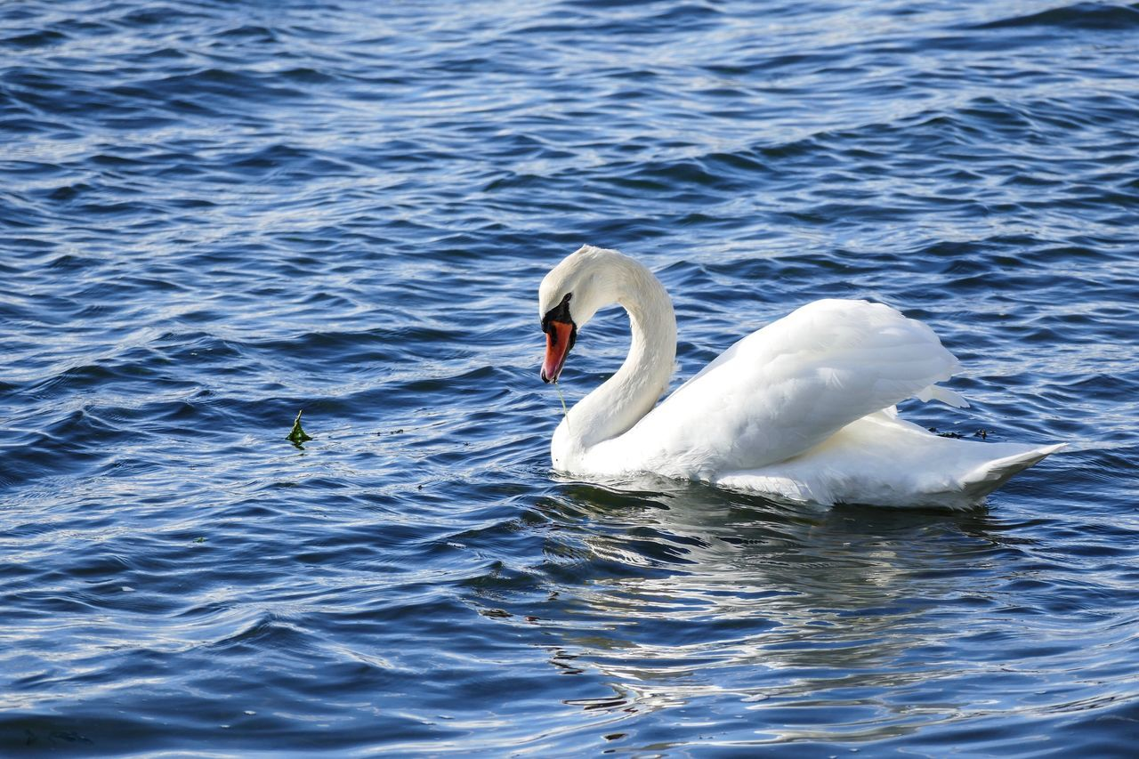 Animal Themes Bird Rippled Animals In The Wild Waterfront Water Wildlife Blue Swimming Swan Beak Tranquility Floating On Water Nature Beauty In Nature Swimming Animal Water Surface Sea Zoology Animal Head  Chichester Harbour