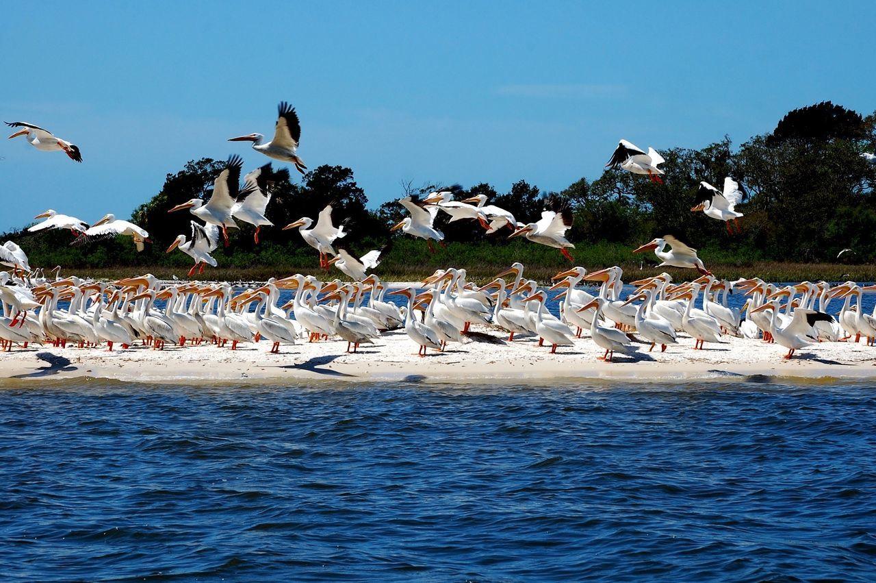 Cedar Key Pelicans Birds Flock Of Pelicans Flock Of Birds Albino Pelicans Gulf Of Mexico Beach Island Cedar Key National Wildlife Refuge