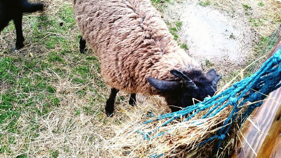 /ignores. /continues nomming. Goat Petting Farm Farm Animals Animal Goats Life Ignorethehuman