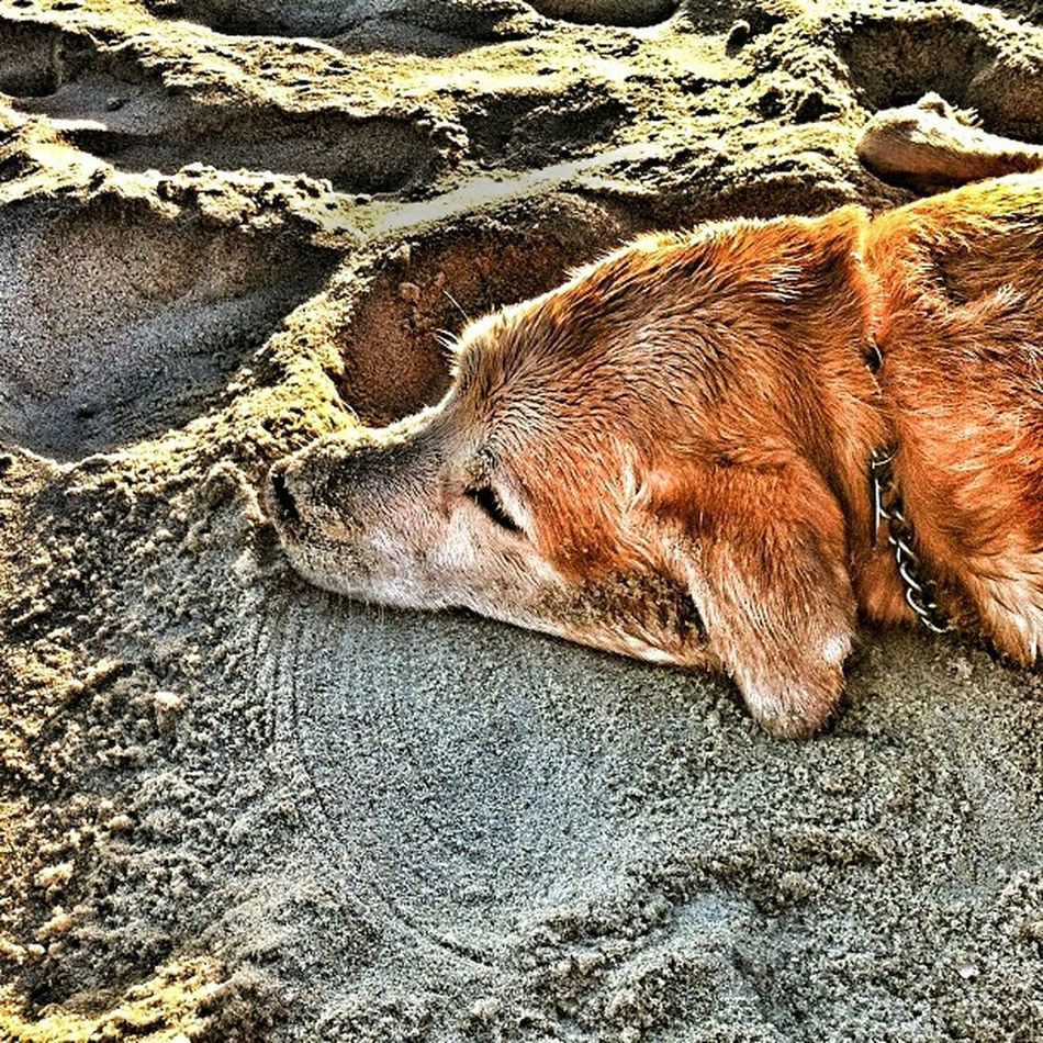 Summer Dogs Labrador Retriever Sand Beach Relaxing Sun Dog