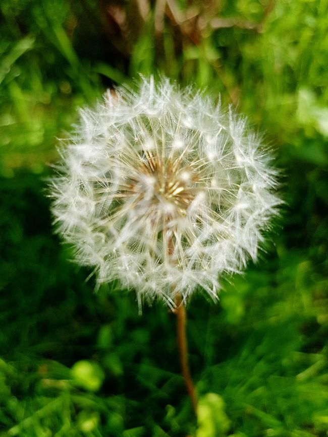 Dandelion Flower Fragility Close-up Beauty In Nature Single Flower Focus On Foreground Españoles Y Sus Fotos Symplicity Nature_collection