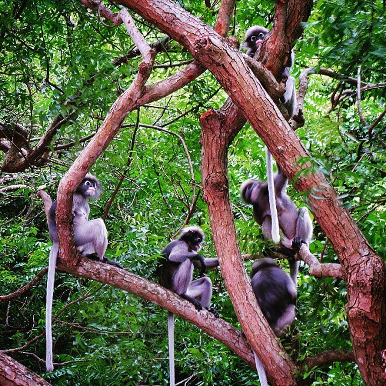 ค่างแว่น ( Dusky Langur ) . . . . . Langur Monkey Animal Cute Fujifilm_xseries Fujifilm Fujixm1 Fujifilm_id Fujifilmthailand Prachuabkirikhan Travelingram Siamthai_ig Capture_today Thaistagram Thailand_allshots Ig_thailandia Ig_today Igersworldwide Igersthailand Instaanimal Instaaaaah Insta_thailand Nature_lovers Naturelovers Creature forest