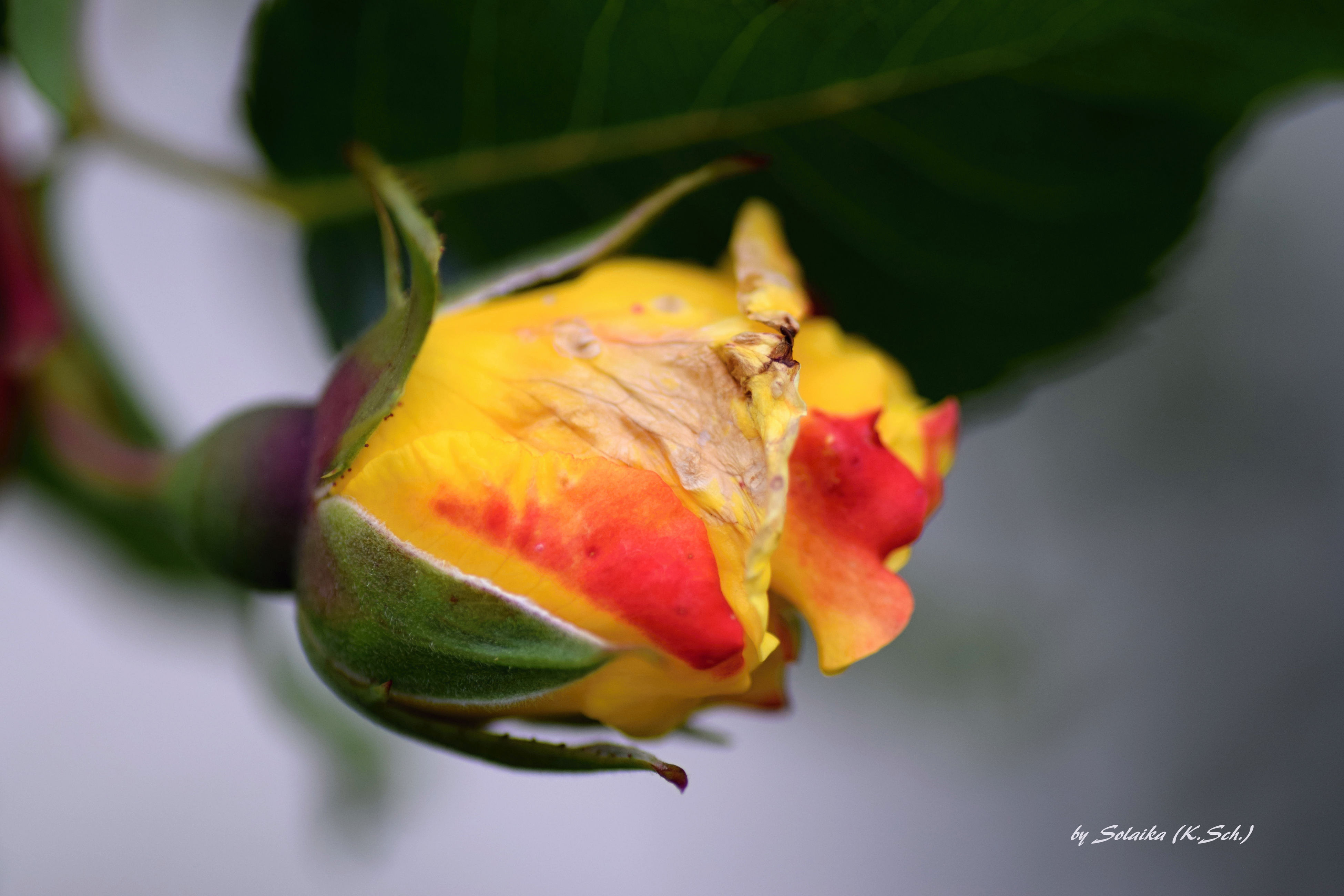 close-up, flower, fragility, leaf, petal, focus on foreground, growth, beauty in nature, freshness, nature, plant, flower head, selective focus, season, bud, yellow, stem, leaf vein, rose - flower, botany