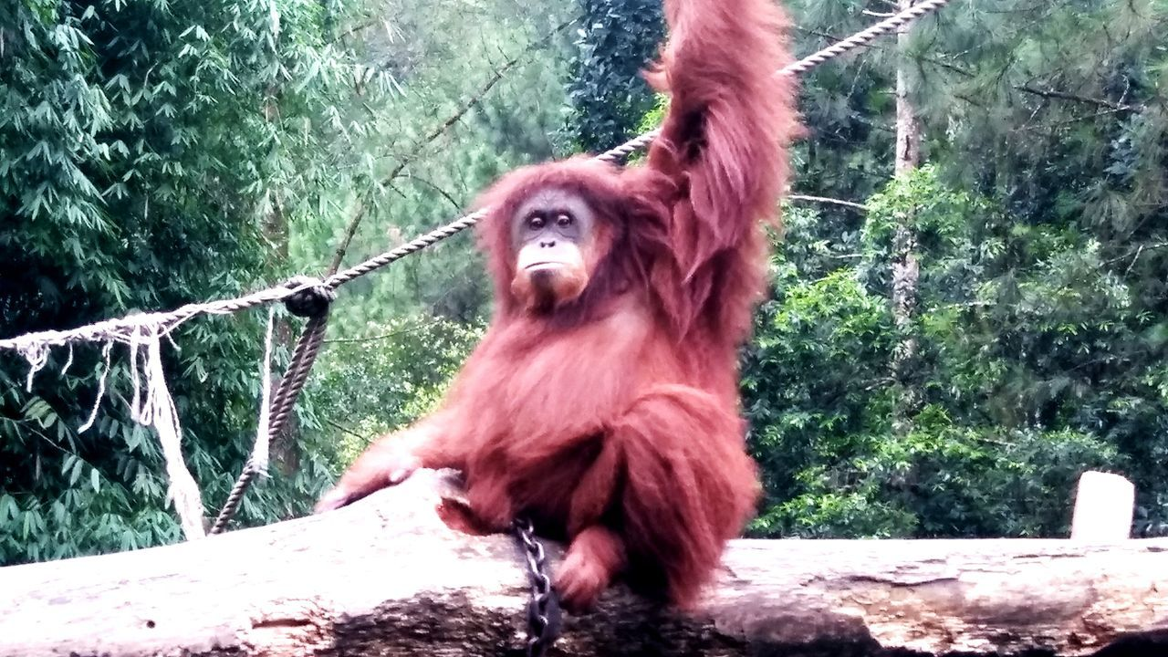 Hi..have a nice weekend ma friends!! 💐💐💐 Animal Themes Mammal Primate No People Animals In The Wild Orangutan Nature Outdoors Tree Beauty In Nature Streamzoofamily Travel Animallovers Animal Photography