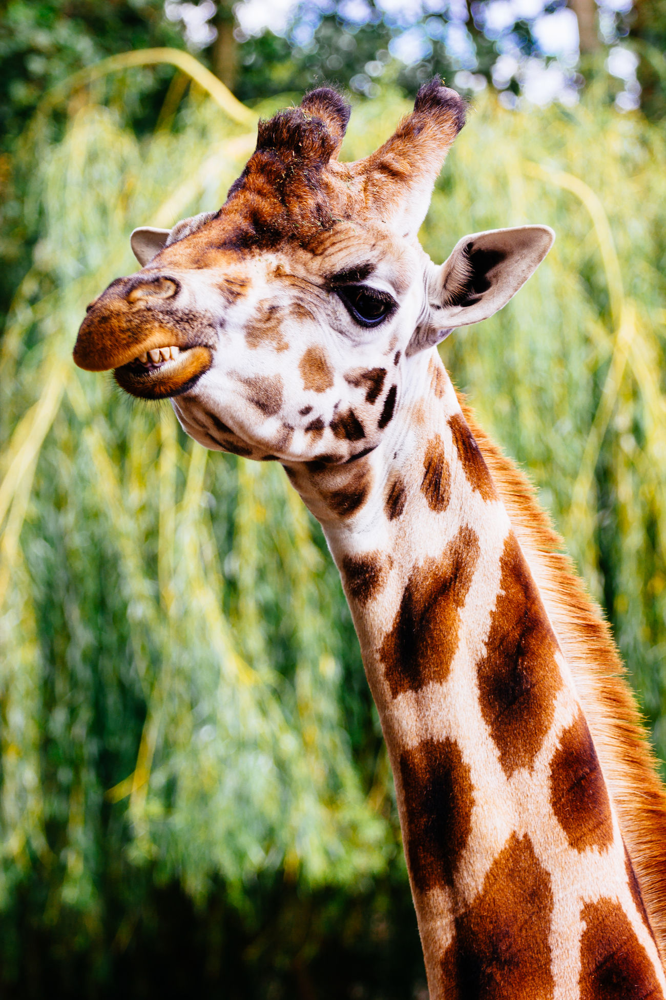 A funny photograph of a giraffe showing its teeth, it looks like the animal is smiling. Animal Animal Head  Funny Giraffe Herbivorous Mammal One Animal Portrait Wildlife