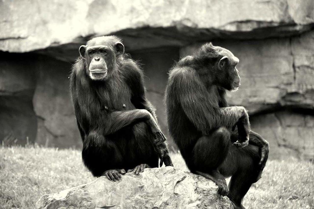 Sguardi Intensi Sguardo Curioso Sguardoprofondo Sguardoperso Scimmiepossenti