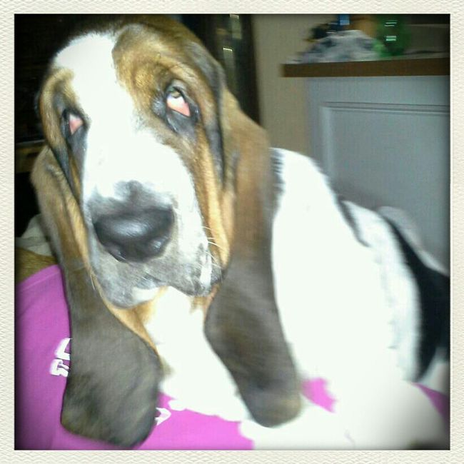 I am Bobes♥♥ Dogs Popular Bassethounds Bobes Pets