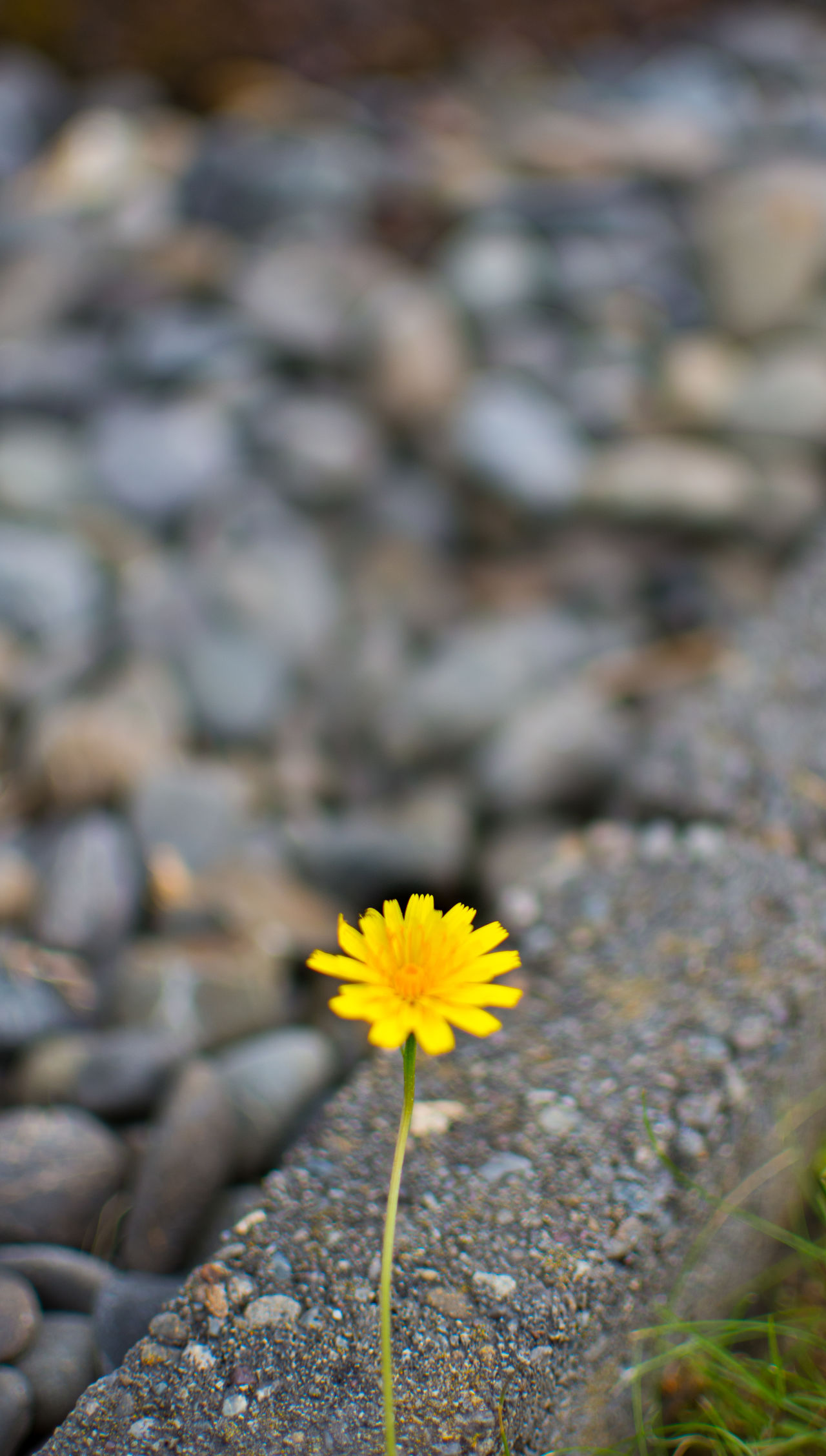 Because A Thing Of Beauty is A Joy Forever...!!! Flower Nature Beauty In Nature Macro Minimalism Pebbles Nature Rising Flower Head Beauty In Ordinary Things Beauty In Simplicity Beauty In The Mundane Nature Rising Defiance