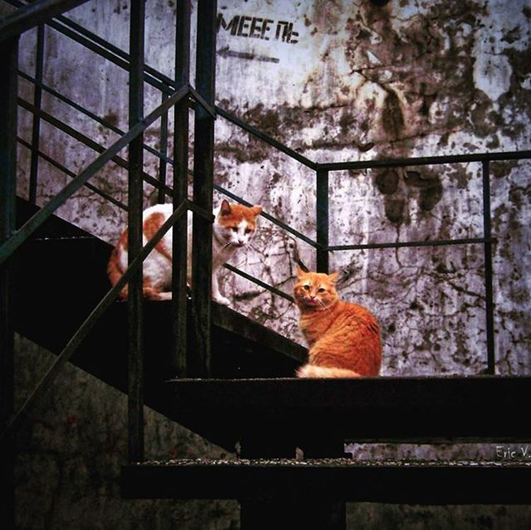 """""""Сударь! Не соблаговолите убрать свой фотографический аппаратъ и откланяться! А мы продолжим нашу дуэль."""" Wigandt_photo Wigandt Анапа новороссийск Сукко тамань краснодар краснодарскийкрай Россия Russia Kzoom кошки котэ котики Cat Cats Instacat Catlovers Catstagram Catoftheday Meow рыжиекоты дуэль Гетто драка кошачьиразборки неподелилидаму вподворотне"""