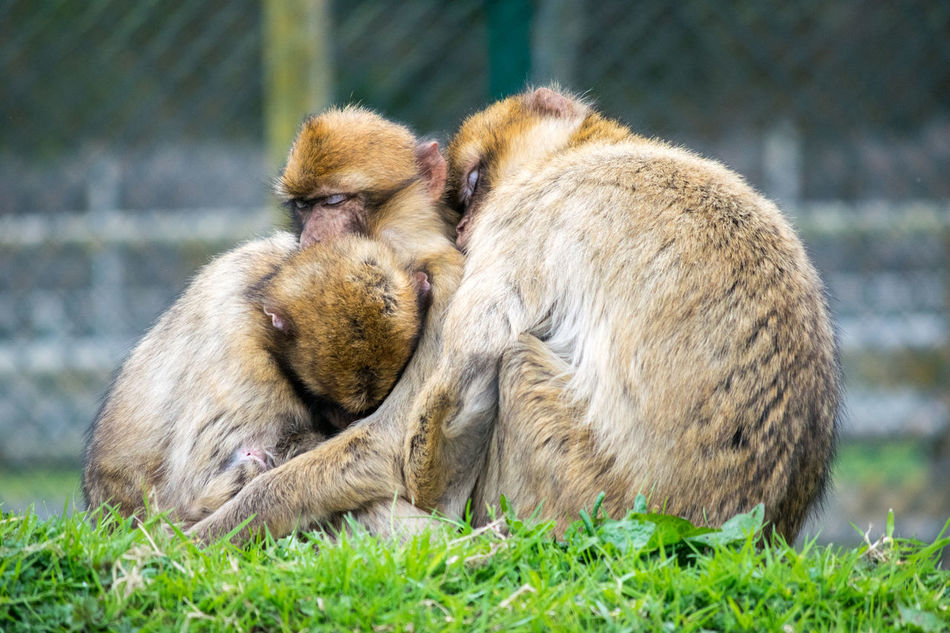 Animals Captive Animals Captivity Cuddling Family Huddled Monkeys Nature Primates Resting Sleeping