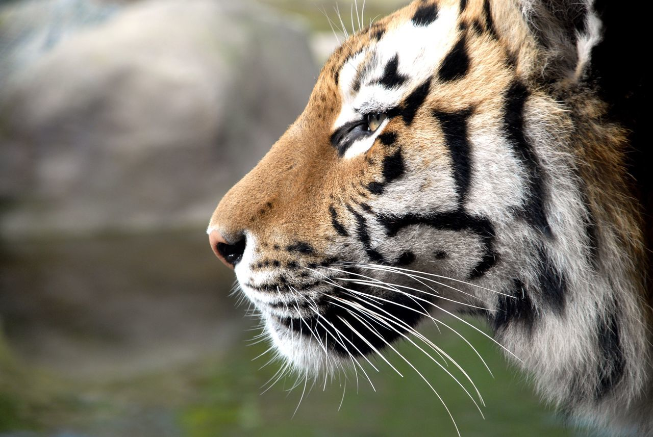 Beautiful stock photos of tiger, Alertness, Animal Body Part, Animal Head, Animal Themes