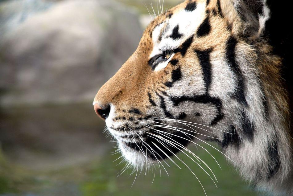 Beautiful stock photos of tiger, Alertness, Animal Body Part, Animal Head, Animal Themes