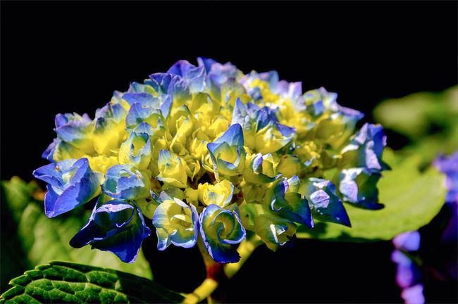 Beauty In Nature Black Background Blooming Blue Close-up Colorful Flower Flower Head Focus On Foreground Fragility Freshness Growth Multi Colored Nature Petal Plant Purple Selective Focus Yellow