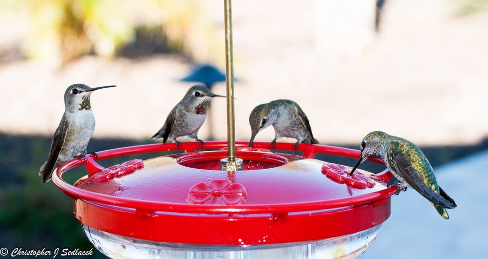 Bird Animal Themes Focus On Foreground Bird Feeder Perching Animal Wildlife No People Day Outdoors Close-up Nature Hummingbird Nature Photography