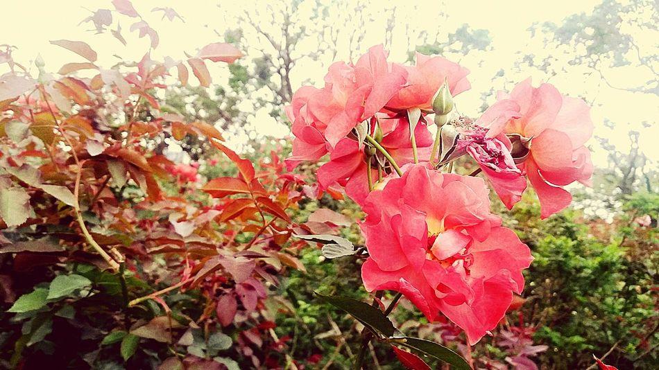 Roses Rose - Flower Rosa Red Redrose  Rose Garden Roseflower Redflowers Taipei