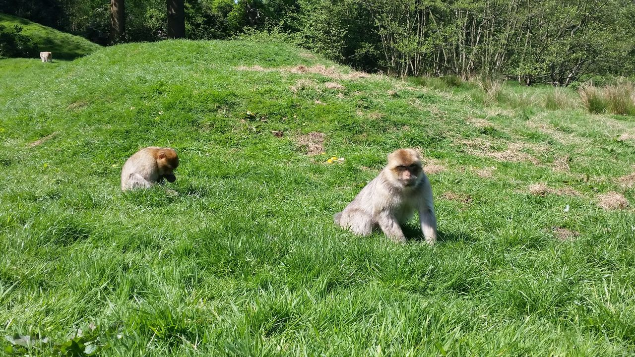 Barbary Macaques On Grassy Field