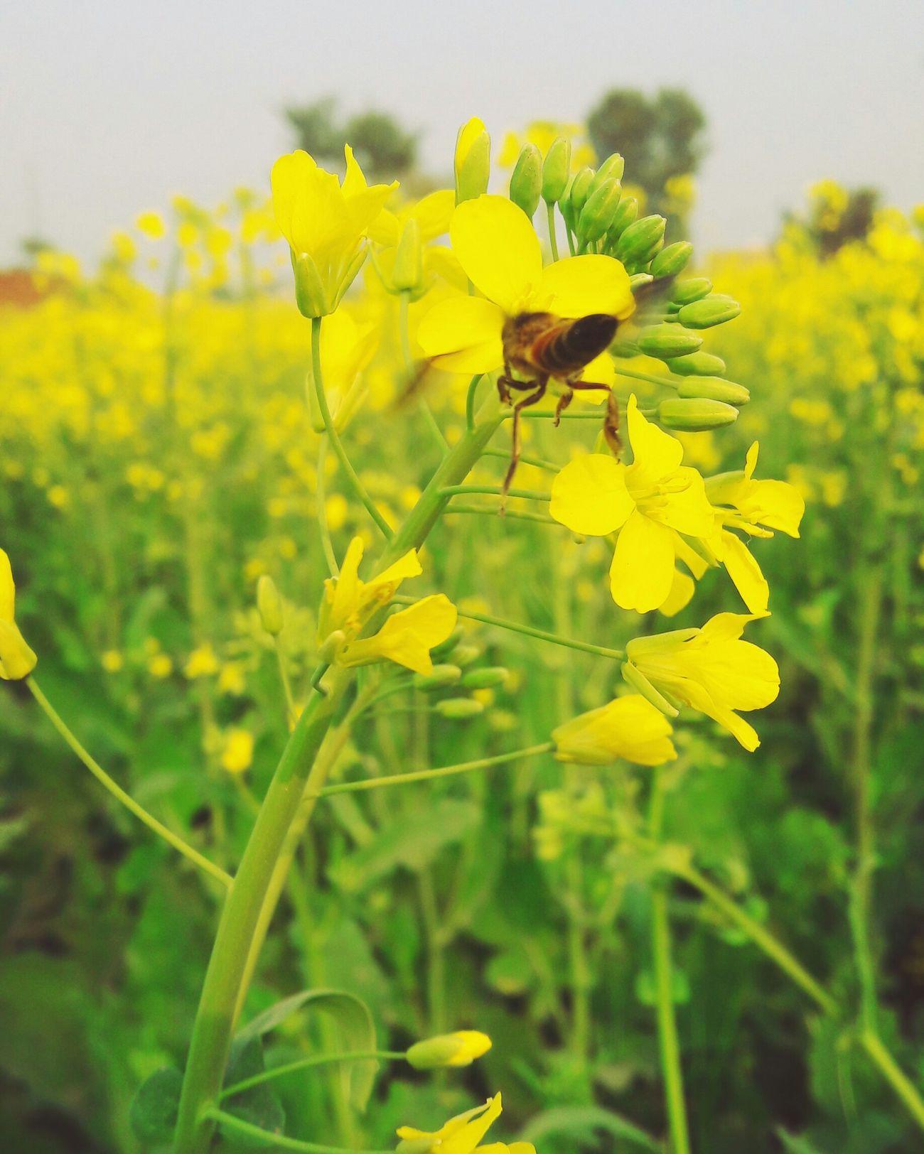 Beautiful Littleflower Bee 🐝 Eyeem Pakistan In Pakistan Nawanlahore Pakistanphotochallenge Beauty Of Nature Withouteffect Flowerporn Yellow Flowers Mobilephotography Flowers