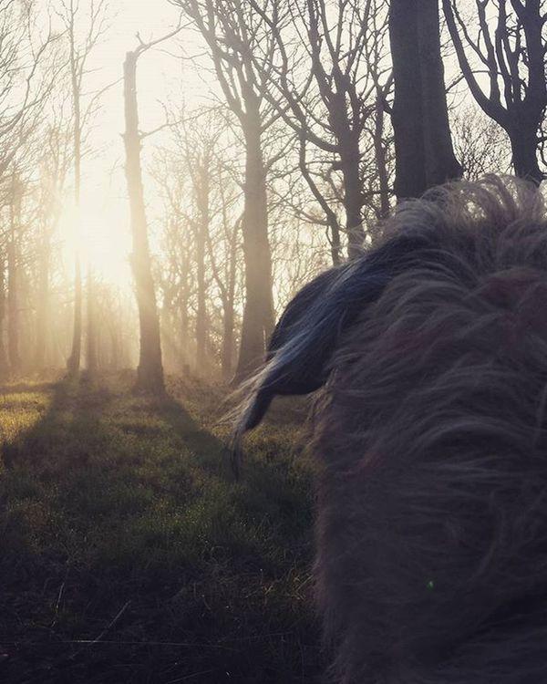 Yoda? Yoda Starwars Irishwolfhound Ireland Irishgirl Wolfie Picoftheday Light Sun Dogs Dogsofinstagram
