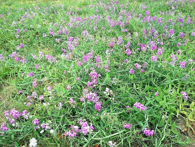 Violet flowers near Billy Blues 2015 Purple Nature Flower Green Color Outdoors Plant No People Freshness Grass Field Of Flowers Violet Flower Violet Color Purples Flowerslovers Flowers, Nature And Beauty Flower Collection Flowers Flowers_collection Green Color Field Violettes Violetflower Pacific Northwest Beauty Pacific Northwest  PNW