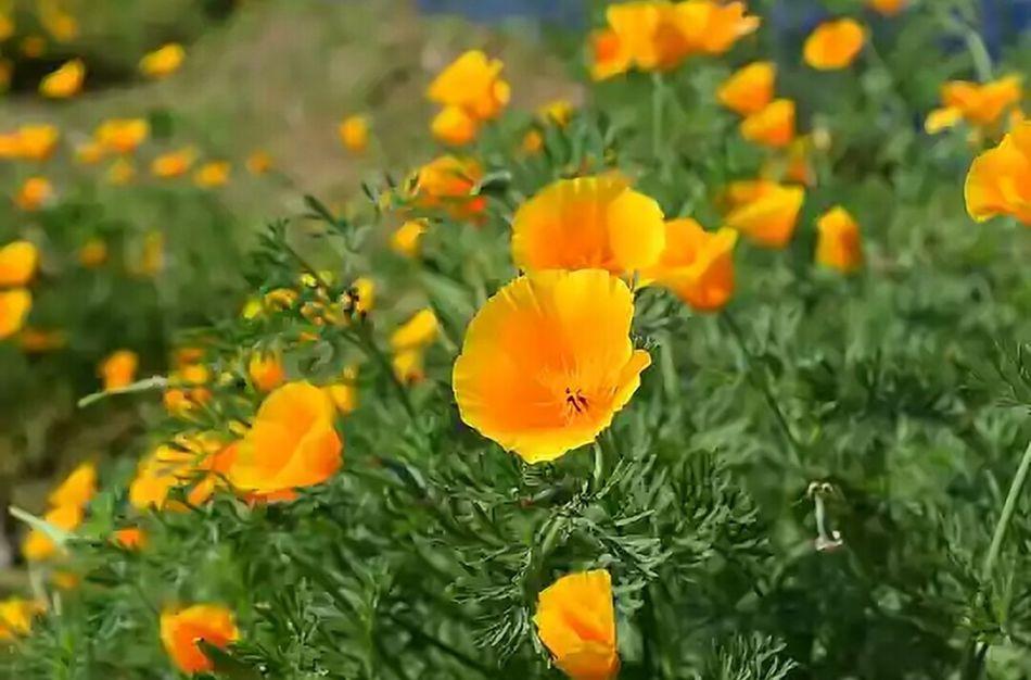 『 お疲れ様でした。』今日も花粉が凄かった... 花粉は大丈夫なんだが目がショボショボする..。| カリフォルニアポピー 《California Poppies》| California Poppy NoEditNoFilter 無加工 Flower Fragility Beauty In Nature Blooming Freshness Orange Flowers Mynikonlife Nikon Photography Full Frame Flowers, Nature And Beauty Flowers,Plants & Garden Fleur ♡ Flower Photography EyeEm Flower EyeEm Best Shots - Flowers EyeEm Gallery EyeEmNewHere EyeEm Best Shots EyeEm Best Shots - Nature From My Point Of View