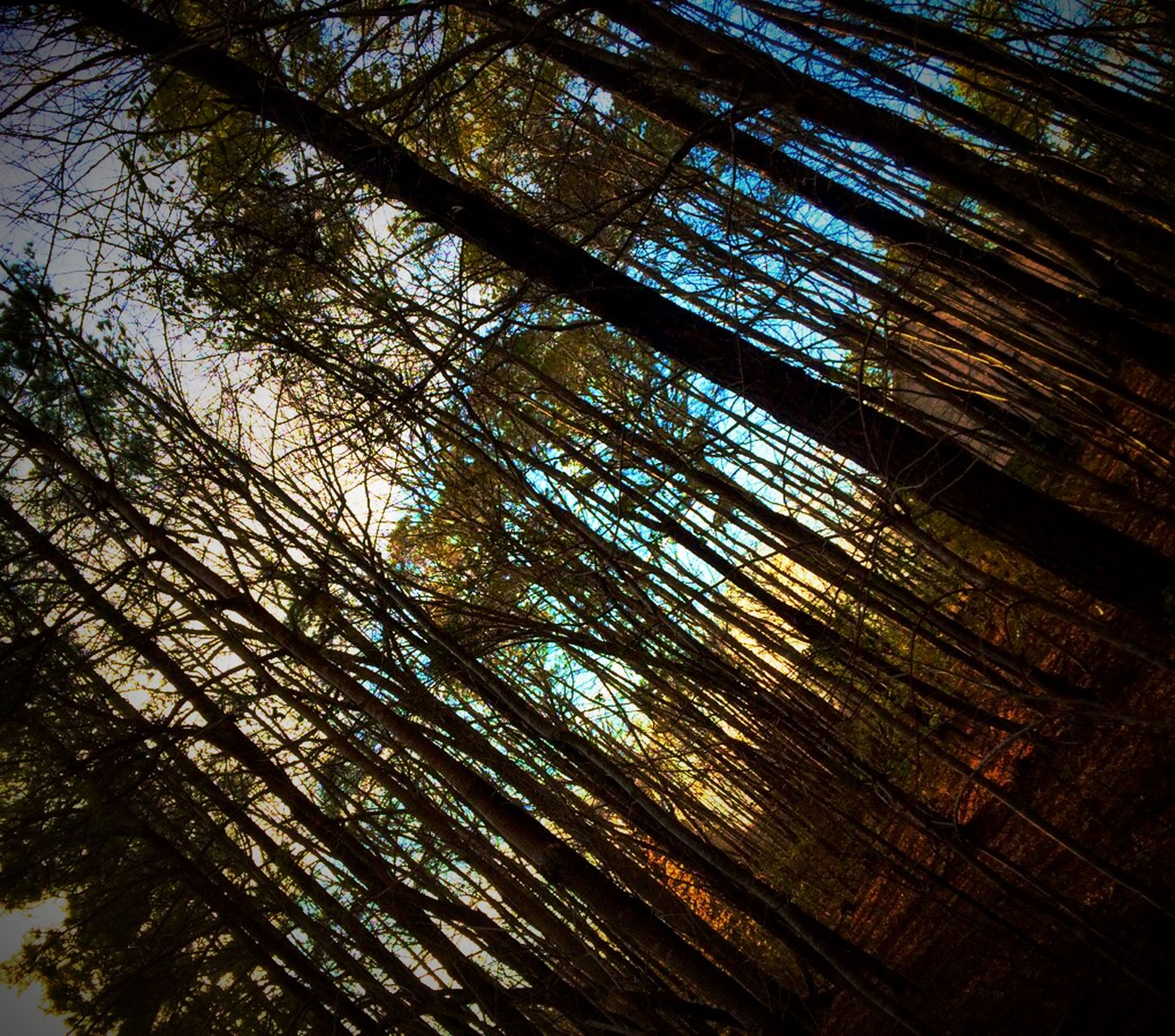 tree, tree trunk, forest, woodland, low angle view, growth, tranquility, wood - material, nature, branch, full frame, backgrounds, beauty in nature, day, tall - high, outdoors, no people, tranquil scene, pattern, scenics