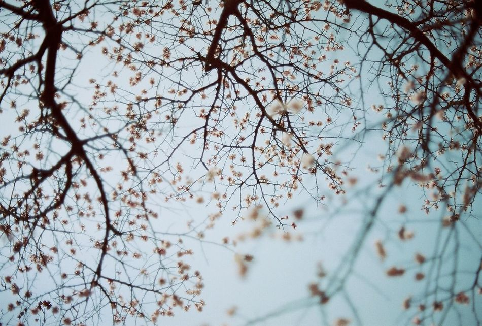 Spring EyeEm Filmphotography Tree Flower Beauty In Nature Nature Springtime Blossom Freshness Filmisnotdead Filmcamera Eyeemgallery Analogue Photography Analog NoEditNoFilter Film Filmphoto Film Photography Nikonphotography Beauty In Nature Eyeemphotography Nature EyeEm Best Shots EyeEm Gallery