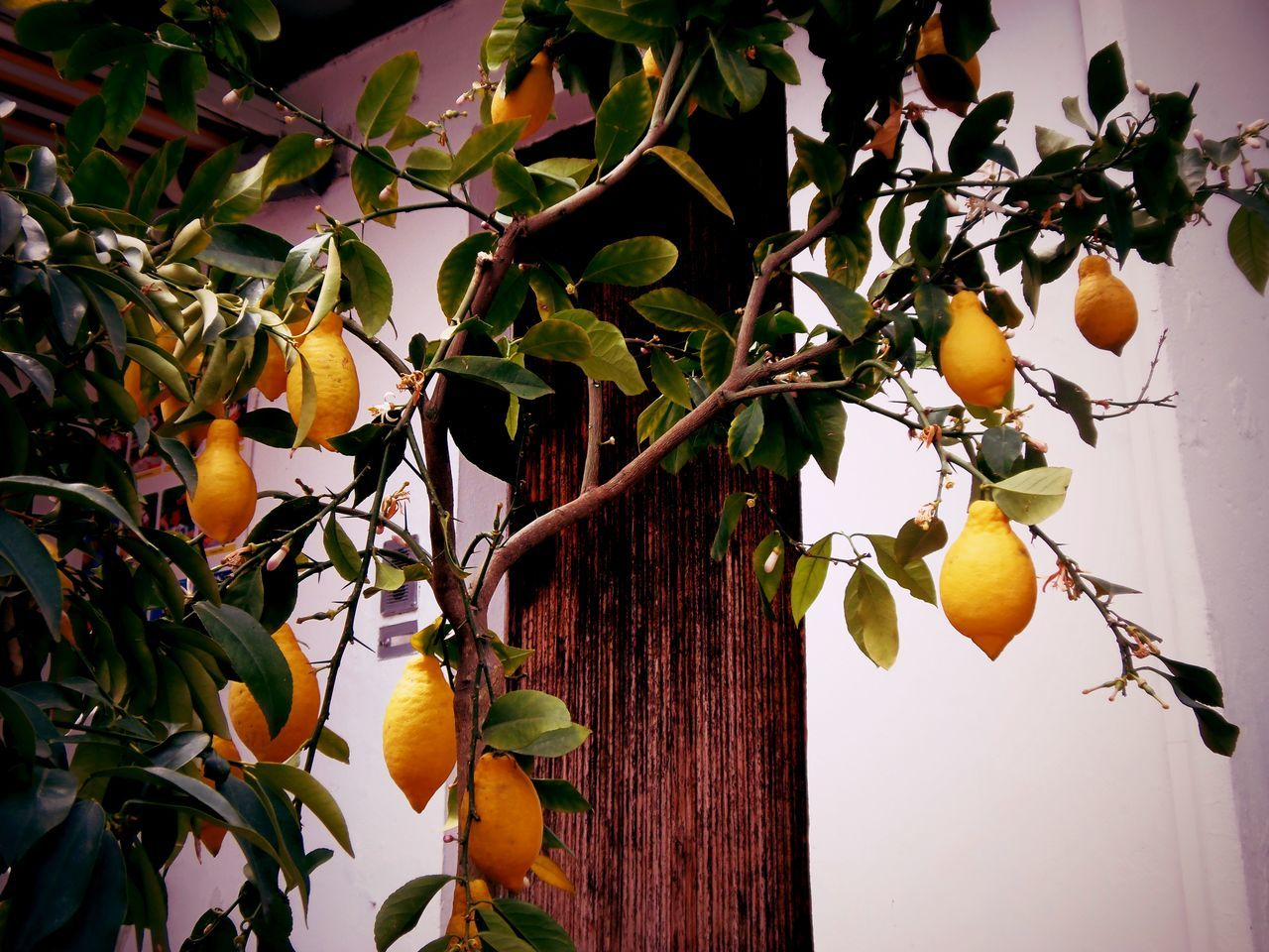 Agriculture Close-up Focus On Foreground Freshness Growth Limone Limone Sul Garda Vineyard Lemon Tree Lemons Lemon Grove Lemon Trees Limonesulgarda Lake Garda LakeGarda Italy❤️ Fruit Trees Fruit Tree Fruit Photography Fruits Summer Fruits Agriculture Photography Agricultural Lemontree Lemon