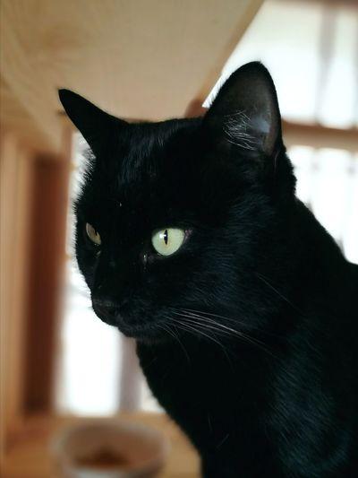 Black Cat Cute Lovely Cat Lover Sun Light Cat Green Eyes One Animal Pets Black Color Animal Themes Domestic Cat Domestic Animals Portrait Animal Head  Feline No People Mammal Indoors