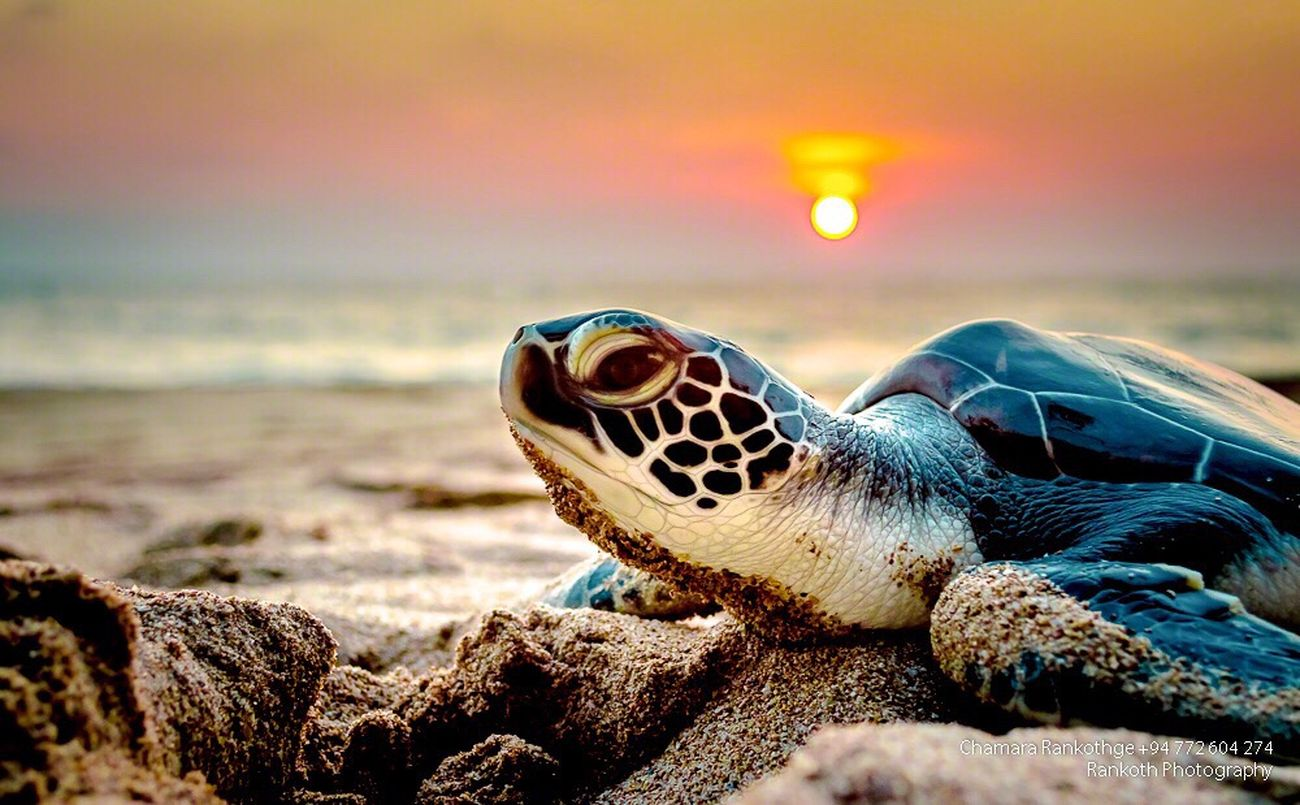 Sea One Animal Beach Nature Close-up Sunset Animal Themes Outdoors Water Beauty In Nature No People Reptile Sky Animals In The Wild Sea Life Sea Turtle First Eyeem Photo EyeEm Sri Lanka EyeEm Nature Lover