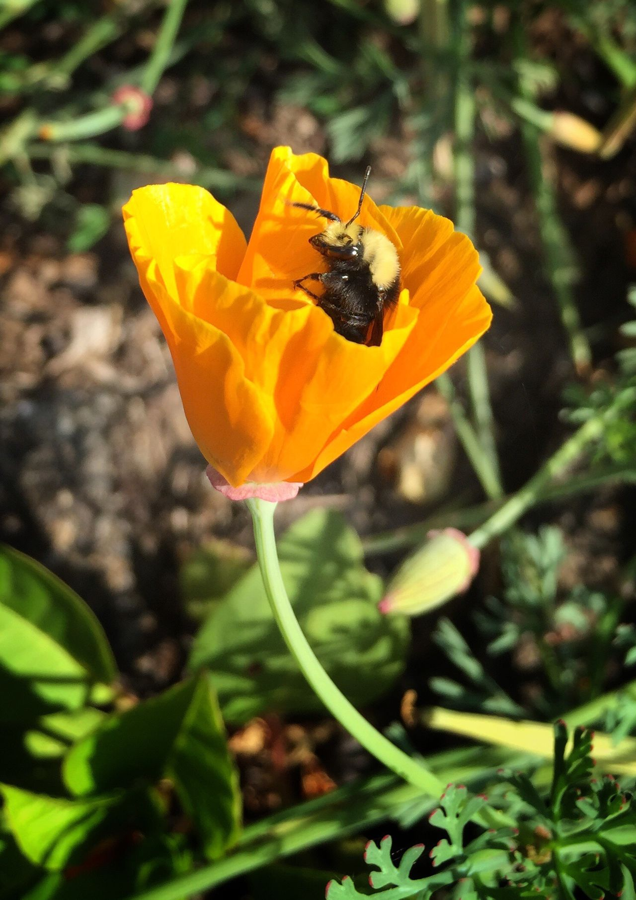California Poppy Poppy Flower Flowerporn Orange Bee Bumblebee Focus On Foreground Nature Nature_collection Beauty In Nature Beautiful Nature Flower Collection Insect Close Up Streamzoofamily IPhoneography Blossom Blooming Summertime