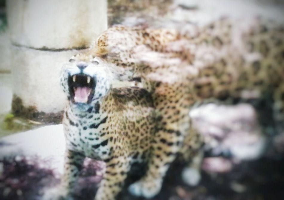 Through The Glass Audubon Zoo New Orleans, LA Jaguars Mad Cat Fierce Big Cats Fangs Fiercefelines Zoo Animals