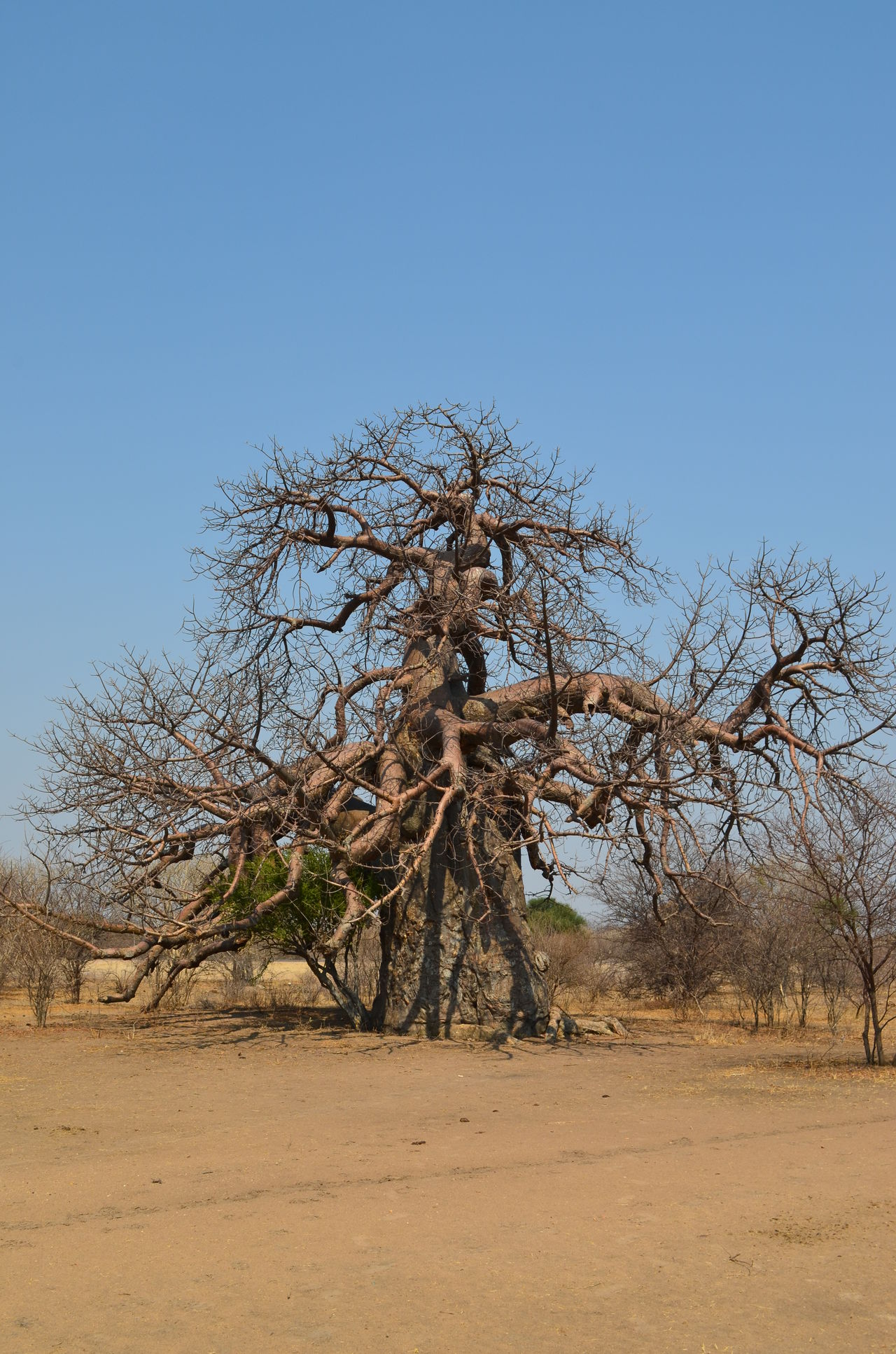 Africa Bare Tree Beauty In Nature Boab Tree Botswana Clear Sky Day Nature No People Outdoors Sky Tree