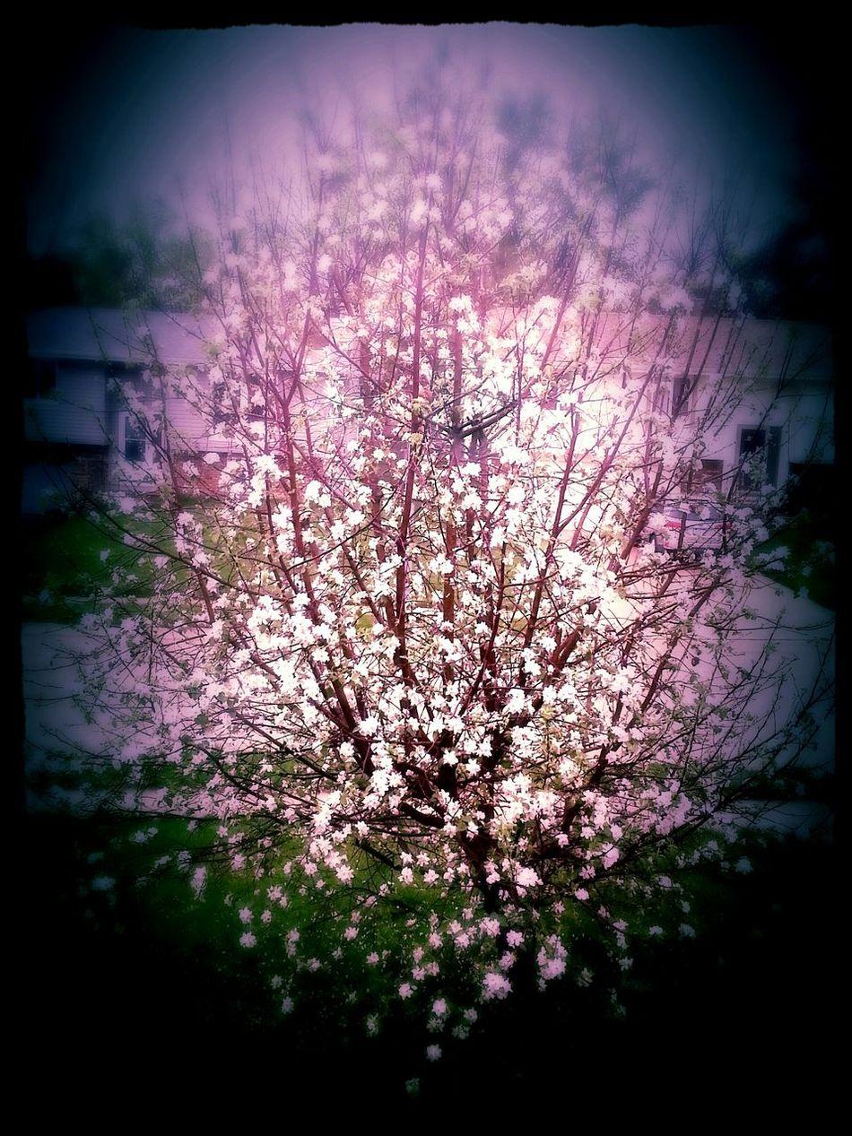 Spring Spring Apple Tree Apple Blossom