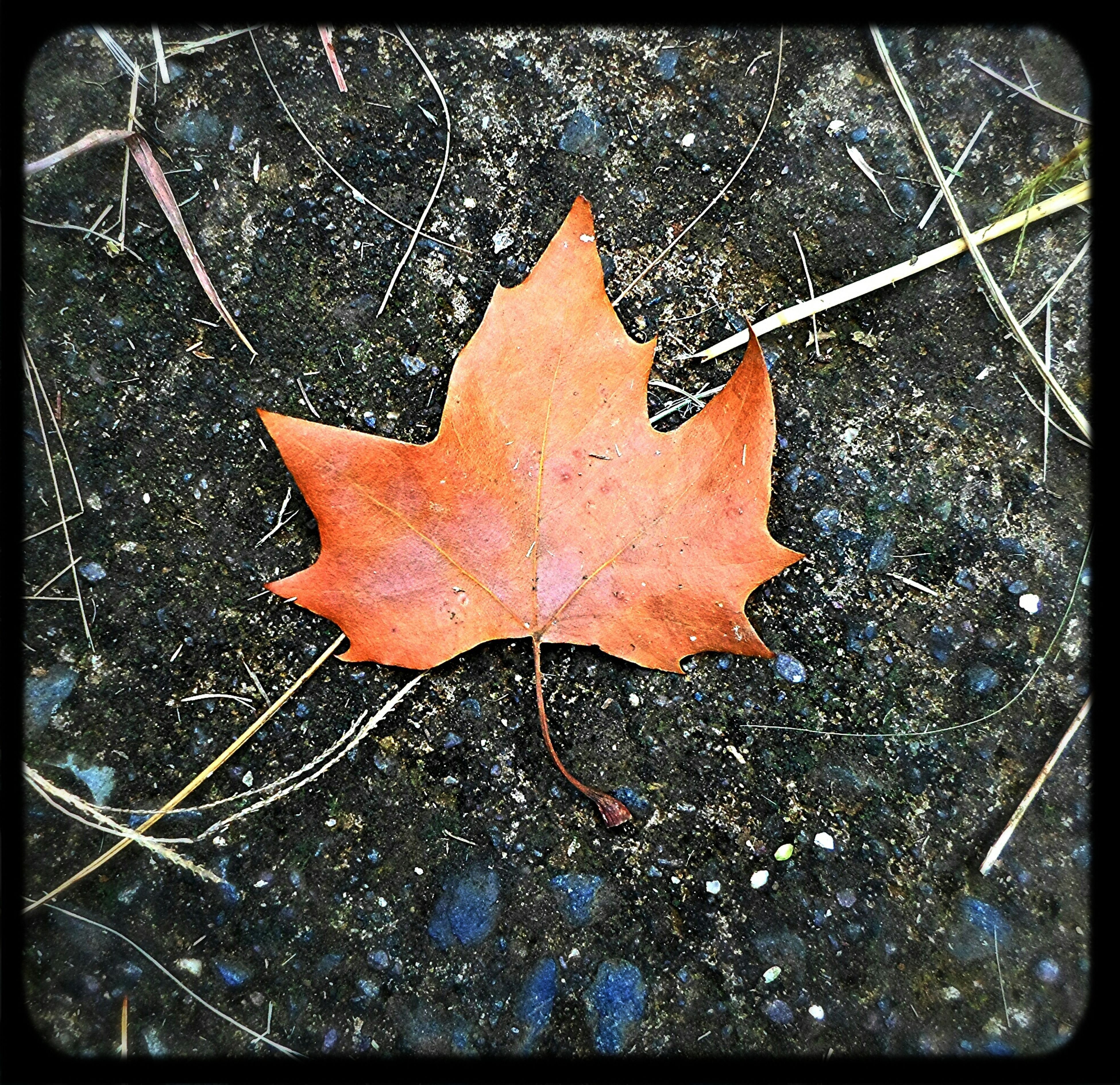 transfer print, leaf, autumn, season, auto post production filter, change, leaf vein, dry, wet, close-up, leaves, maple leaf, natural pattern, water, high angle view, fallen, nature, drop, fragility, rain