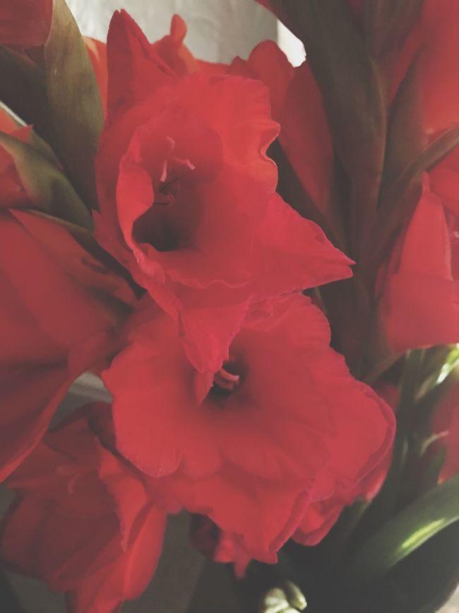 Gladioli Bloom