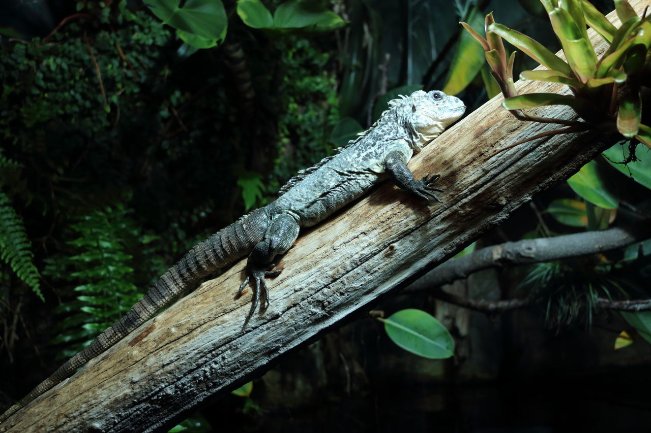Green Color Tree Animal Wildlife Animals In The Wild Branch Nature Tree Trunk Leaf Reptile One Animal Close-up Outdoors Animal Themes No People Day Insect Iguana In A Tree Iguana Photo Iguana Colors