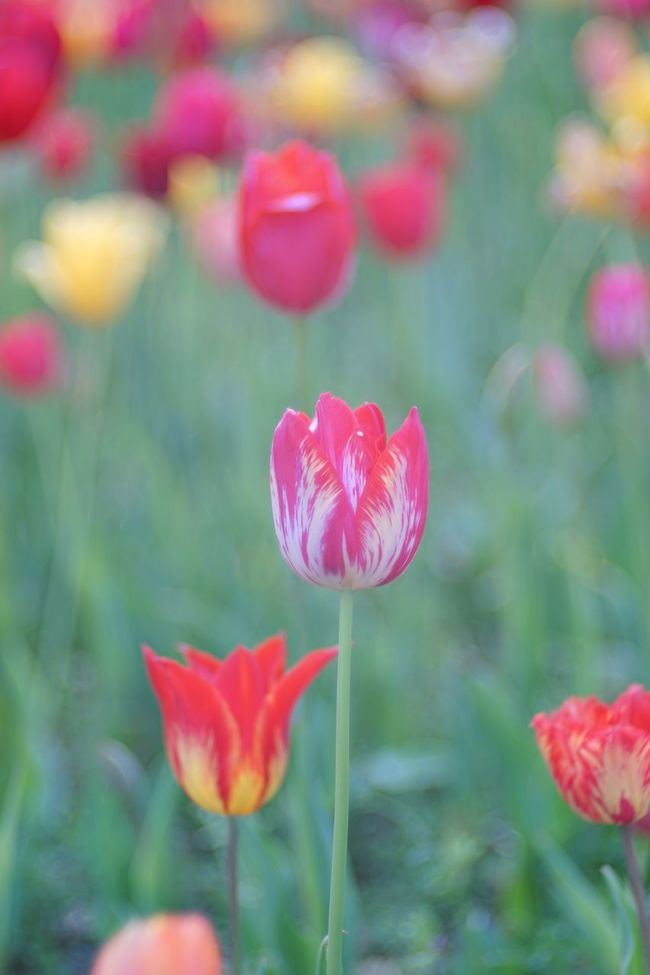 Tulips🌷 Tulip Flowers Bokeh Bokeh Photography Soft Focus Flowers, Nature And Beauty Nature Photography EyeEm Best Shots - Flowers EyeEm Best Shots - Nature EyeEm Best Shots EyeEm Nature Lover Flowerporn Nature_collection Snapshot Taking Photos Walking Around お写ん歩