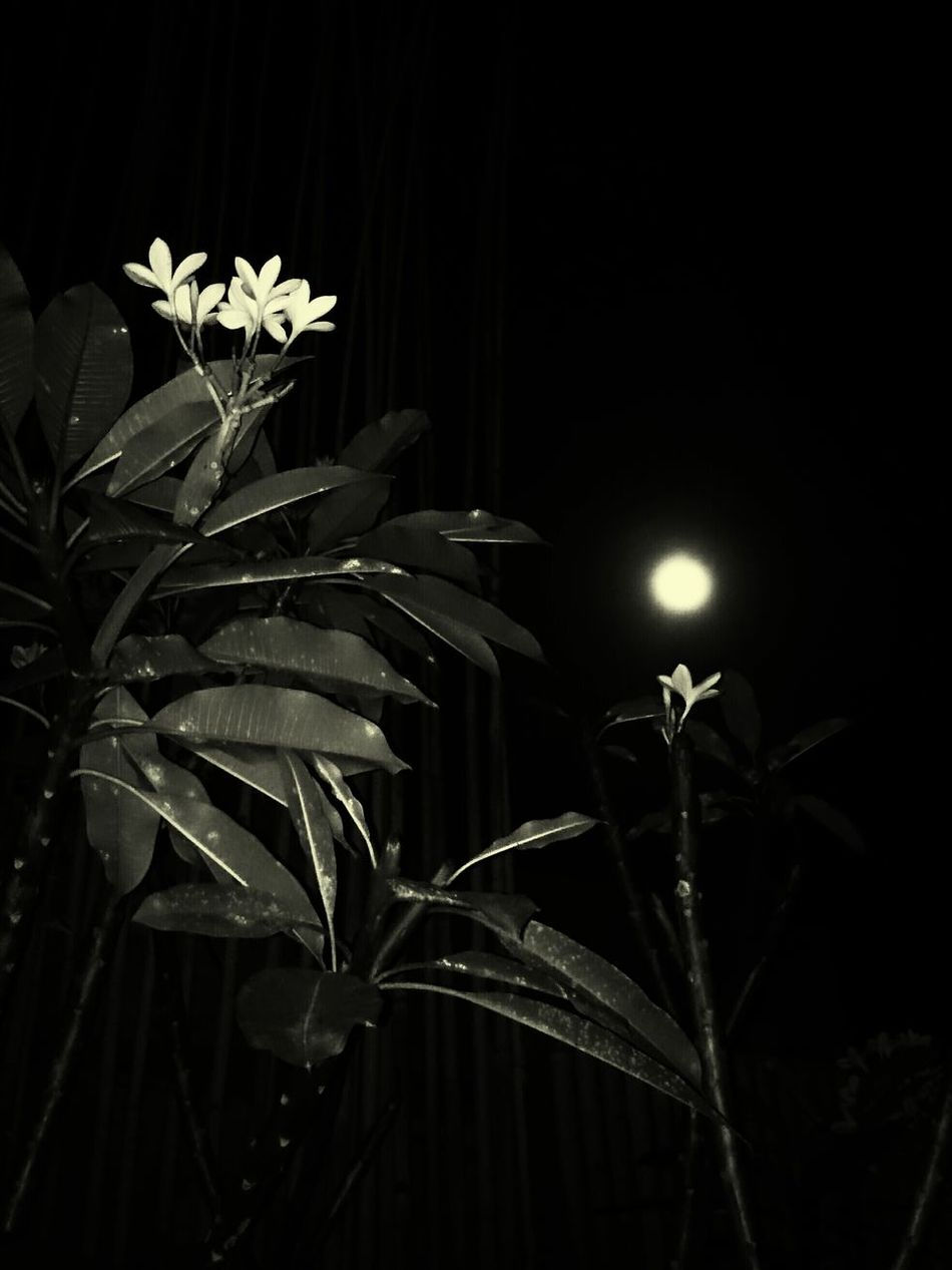 Purnama Ketiga Bali Full Moon Nature Frangipani