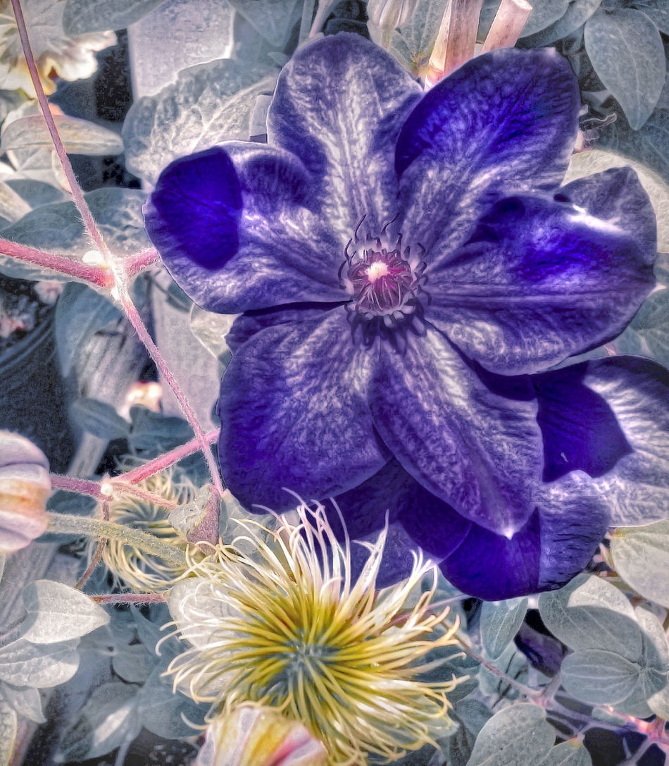 Clematis Flower Close-up Ethereal Vision Flower Pom Pom Flower Purple Tamara Visual Feast